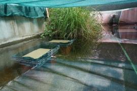 Caixas de manutenção dos juvenis de Margaritifera situadas em tanques no exterior (experiência 2)